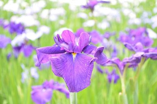 油ヶ渕(あぶらがふち)花しょうぶ園