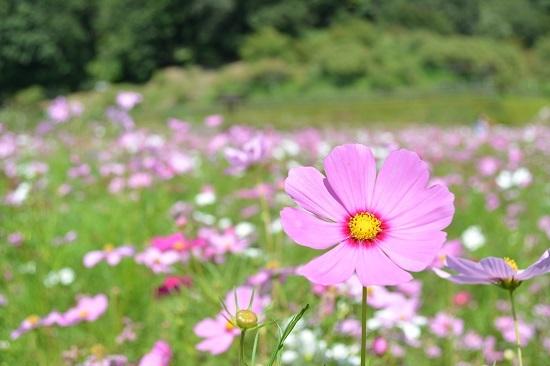花フェスタ記念公園のコスモスまつり