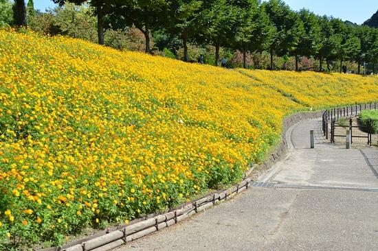 花フェスタ記念公園 コスモス